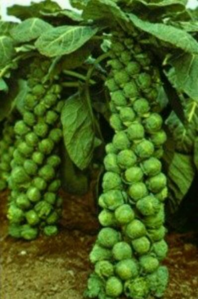 1000 LONG ISLAND BRUSSEL SPROUT Vegetable Seeds-Non GMO-Open Pollinated.