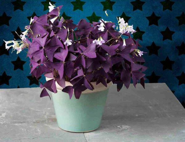 Purple Shamrock - Oxalis triangularis Bulbs Easy Grow Perennial Love Plant