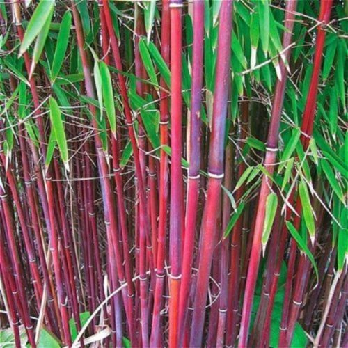 50 Rare Red Bamboo Seeds Privacy Plant Garden Clumping Exotic Shade Screen 381
