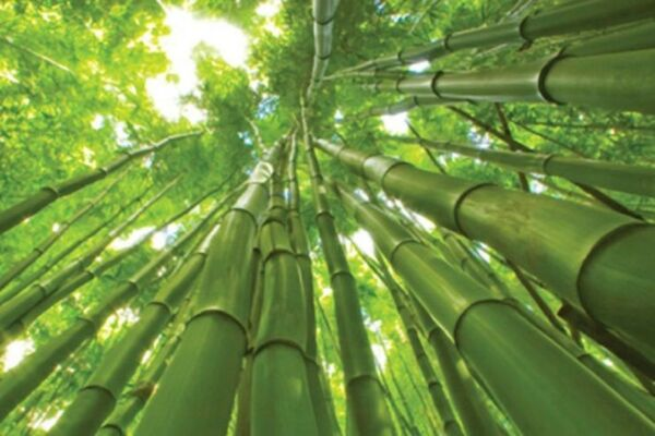 50 Rare Giant Bamboo Seeds Privacy Plant Garden Clumping Exotic Shade Screen 387