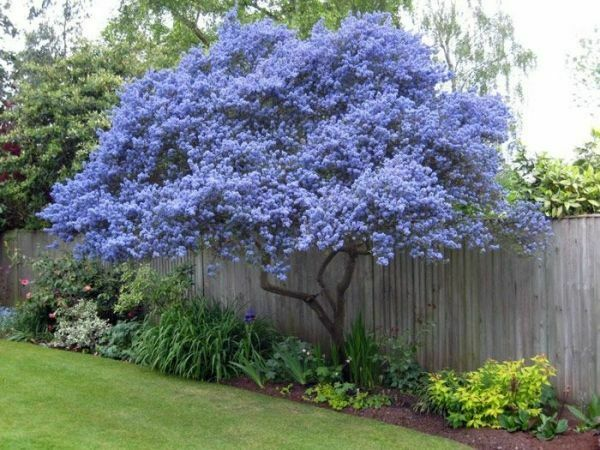 25 Creeping Mountain Lilac Seeds Tree Flowers Perennial Flower 358 US SELLER $4.59