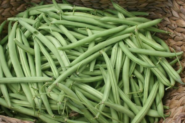 Provider Bush Green Bean Seeds NON GMO Variety Sizes Sold FREE SHIPPING