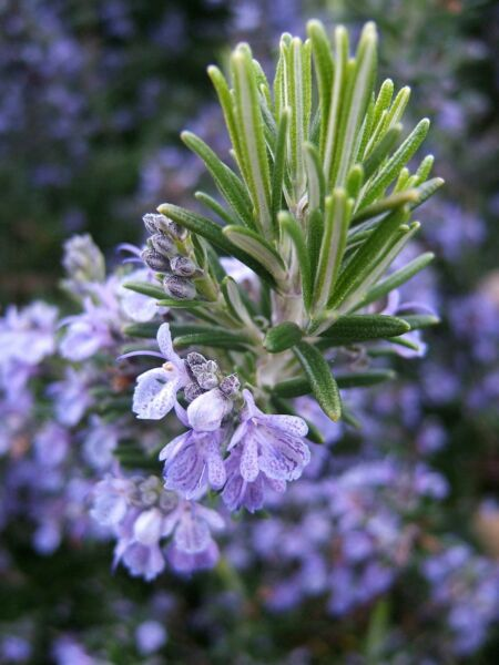 Rosemary Seeds NON GMO Heirloom Variety Sizes Anthos FREE SHIPPING $1.89