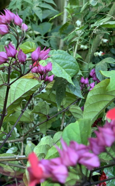 JAVA RED Bleeding Heart Rooted Starter Plant Clerodendrum Delectum Red amp; Purple $7.99