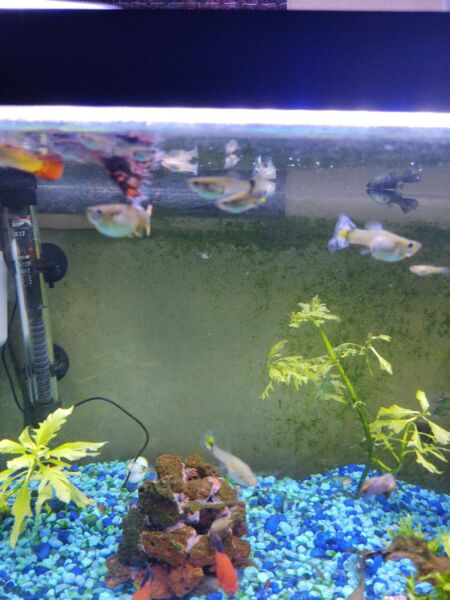 Female Fancy Guppies x5 $20.00