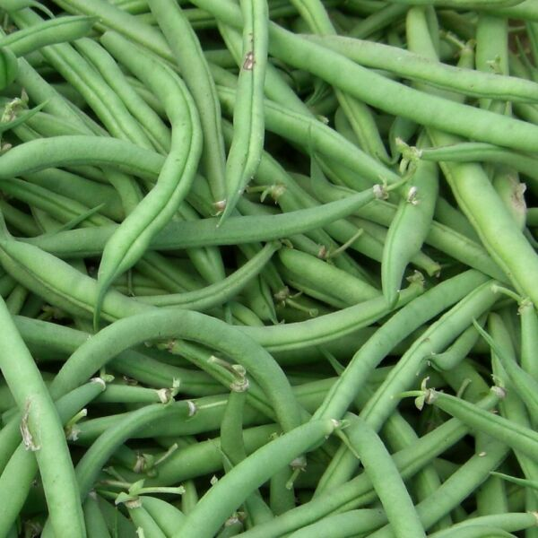 Burpee Stringless Green Bean Seeds NON GMO Variety Sizes Sold FREE SHIPPING