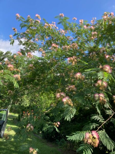 """3 Mimosa Tree Seedlings Pink Bare Roots amp; Seed Packet """"FREE SHIPPING """""""