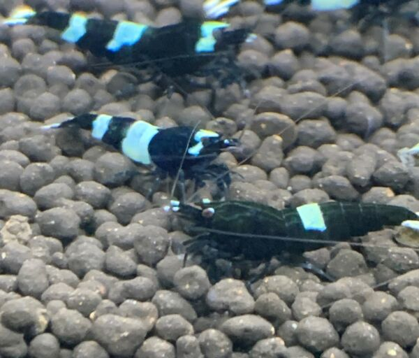 SALE 15% OFF 2 or more Black King Kong Mixed Pattern Taiwan Bee Shrimp $49.50