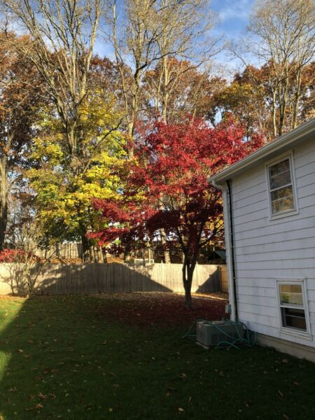 Fully Grown Japanese Maple Tree 25' Tall 30' Wide