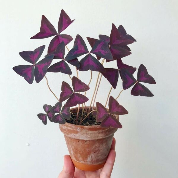 FREE SHIPPING! Oxalis Triangularis: Starter Bulbs  Purple Shamrock Love Plants