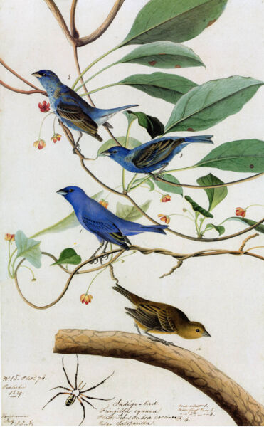 Audubon Reproductions: Watercolor Study Indigo Bunting Fine Art Print