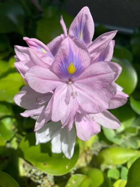 5 Water Hyacinth Extras Beautiful Pond Plants Excellent Filtration Home grown $29.99