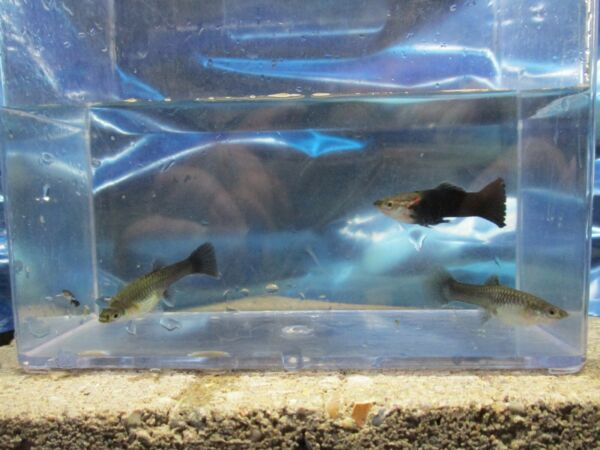 guppies live fish 1 2 black moscow pairs $7.00