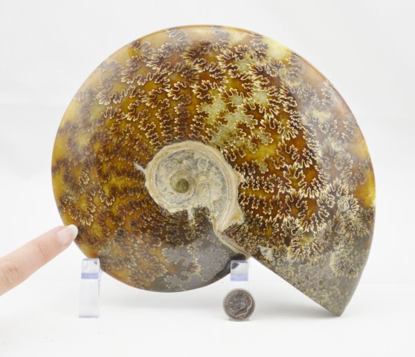 WHOLE Ammonite Great Suture Pattern 110myo Dinosaur 192mm Fossil 7.5