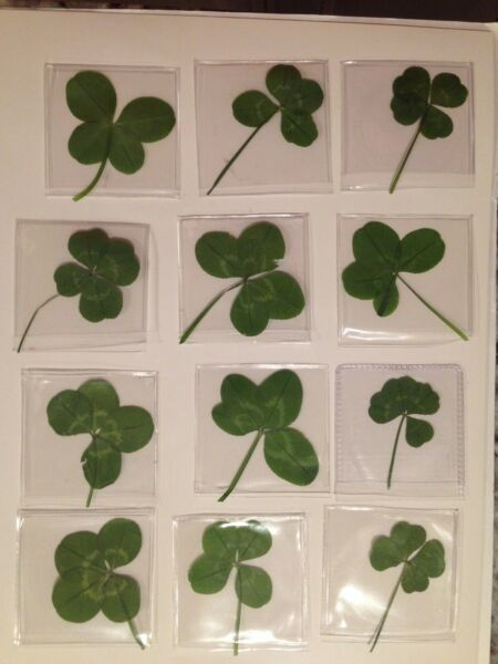 ONE Real Four Leaf Clover -- all nice looking -- Good Luck!