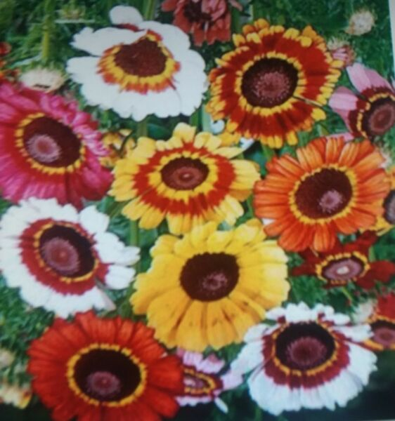 Painted  Daisies  Flower  Seeds