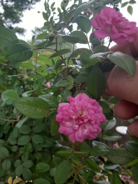 French Rose Cuttings 4