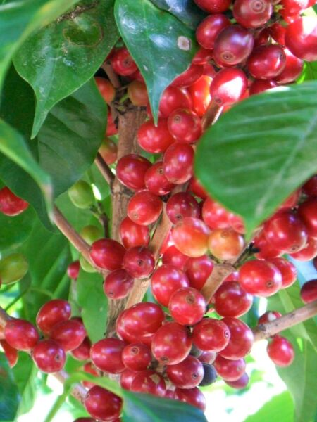 5 lbs Organic Papua New Guinea Green Coffee Beans Selling only Grade 1 Arabica