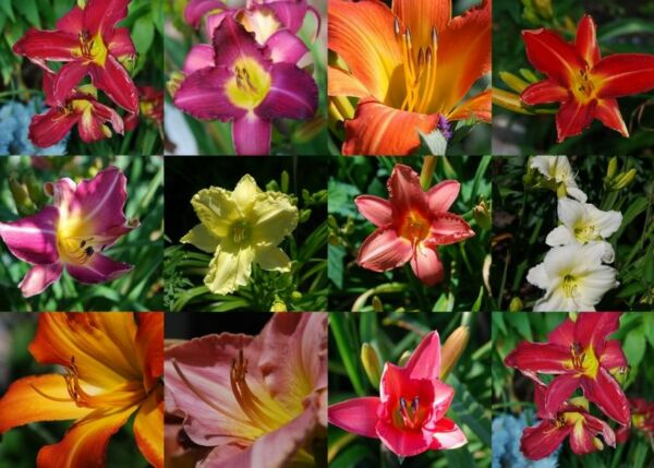 10 MIXED COLORS DAYLILY Hemerocallis Day Lily Fine Mix Red Purple Flower Seeds $3.00