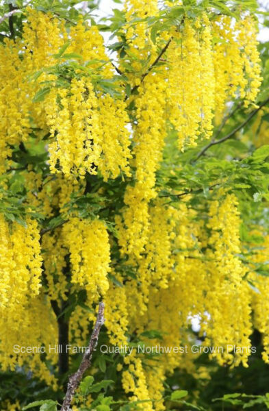 Golden Chain Tree Laburnum anagyroides  Live Potted Tree  18-28 Inches Tall