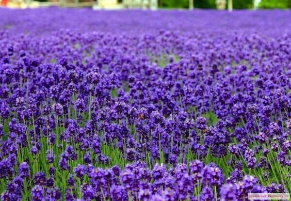 Lavender Vera Heirloom Herb Seed Approximately 300 seeds, 1.79g