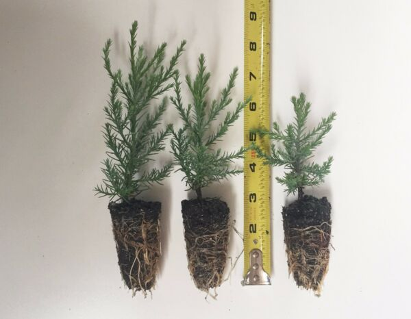 3 Giant Sequoia Trees - California Redwood -  Potted - 3