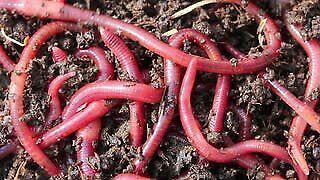 500 Red Worms - Compost Worms - Earthworms - Organic Compost - Worm Castings