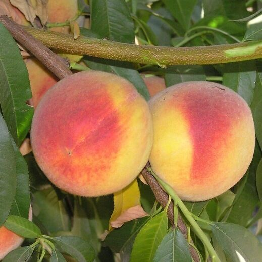 Elberta  Peach trees well rooted new stock  plant up to 3 in tall