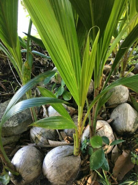 Coconut Tree Green Live Palm Sprouted Ready To Plant FREE SHIPPING