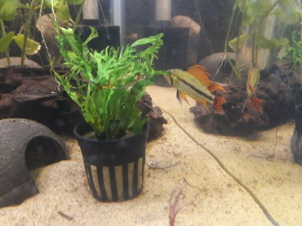 1 M F Pair Apistogramma Cacatuoides Triple Red Freshwater Fish $49.99