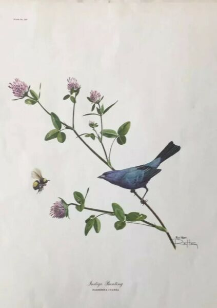 1965 Ray Harm Art Print Indigo Bunting Signed