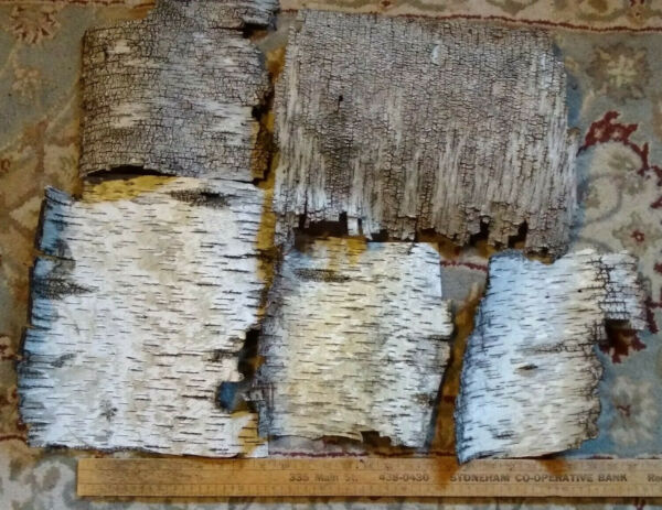 5 pieces NH Birch Bark 13x15 amp; smaller Various textures thick unprocessed  4sq#x27;