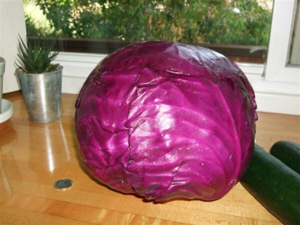 500 RED ACRE CABBAGE SEEDS HEIRLOOM 2018 (non-gmo heirloom vegetable seed)