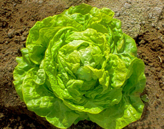1000 WHITE BOSTON BUTTERHEAD LETTUCE 2019 (non-gmo heirloom vegetable seeds!)