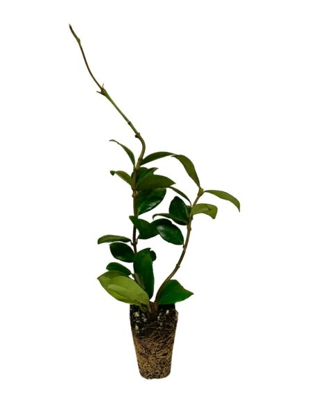 Confederate Jasmine Qty 60 Live Plants Fragrant Vine Beautiful Blooms