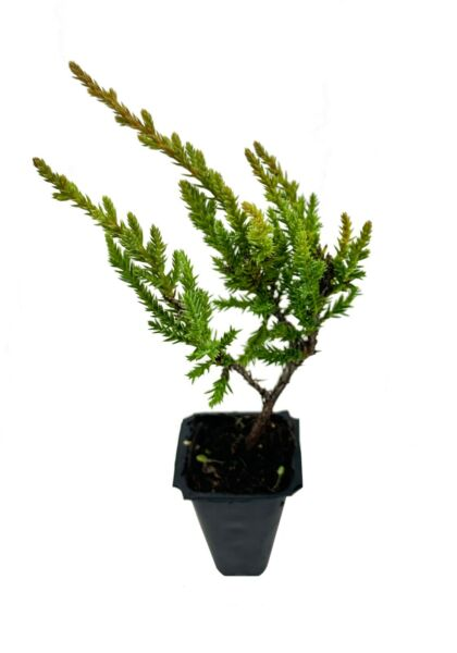 Gold Star Juniper Qty 60 Live Plants Groundcover