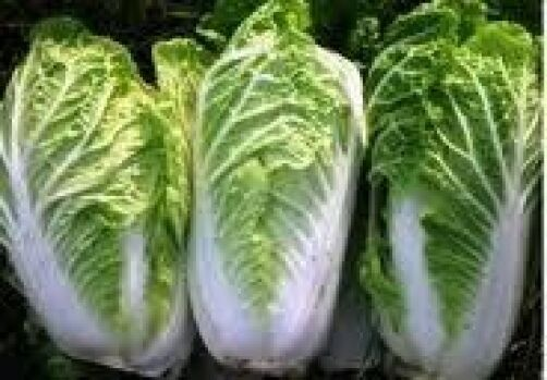 500 MICHIHILI CHINESE CABBAGE 2018 (all non-gmo heirloom vegetable seeds!)