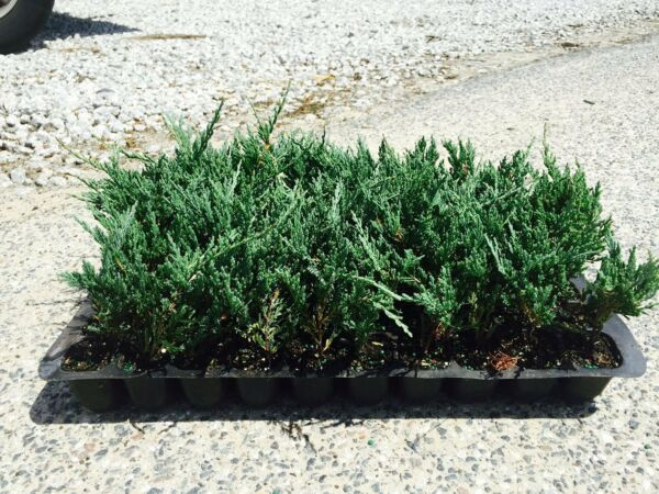 Bar Harbor Juniper Groundcover Qty 30 Live Plants Evergreen Ground Cover
