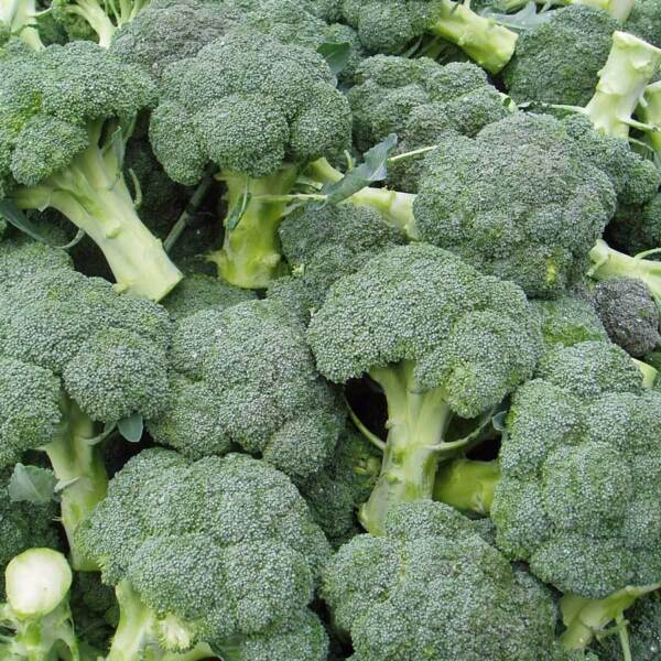 500 WALTHAM 29 BROCCOLI 2018 (all non-gmo heirloom vegetable seeds!)