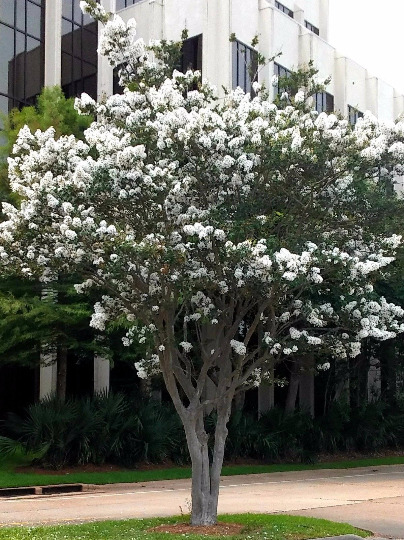 2 LIVE PLANTS CREPE MYRTLE TREES SNOW WHITE FLOWERING CRAPE BUSH SHRUB STARTER