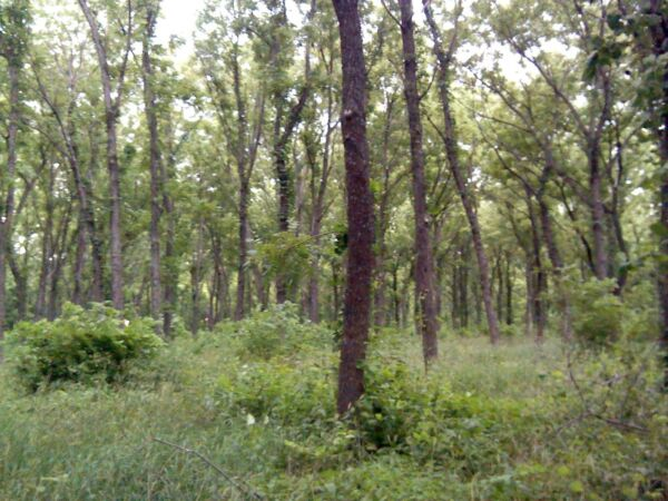 Black Walnut Tree (Lumber) Plantation