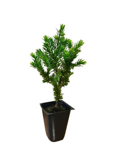 Juniper 'Blue Pacific' - 60 Live Plants - Cold Hardy Evergreen Groundcover