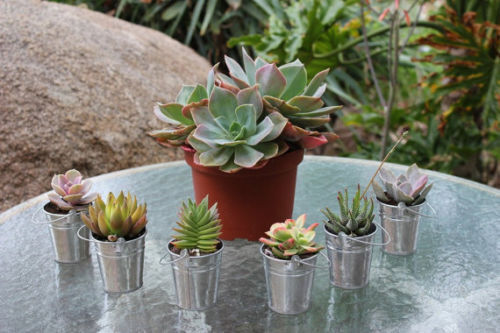 50 Gorgeous Succulents In 50 Adorable Silver Pail...Complete Wedding Favor Kit