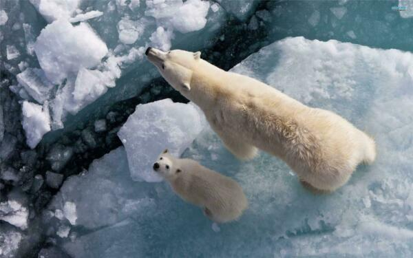 POLAR BEAR AERIAL VIEW GLOSSY POSTER PICTURE PHOTO iceberg white cub snow 1667