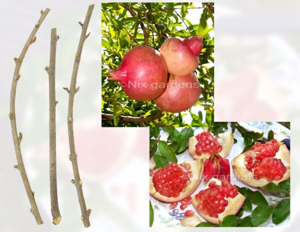 POMEGRANATE TREE CUTTINGS Outstanding Sweetness 4 FRESH Cuttings