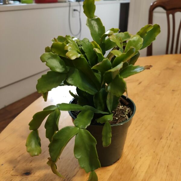 Christmas Cactus Pink Flower Shown in 4