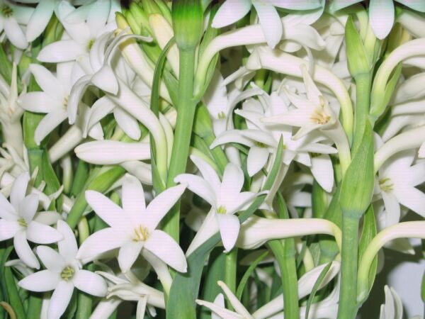 Tuberose Bulbs single Mexican 5 bare root plants FRAGRANT - Polianthus