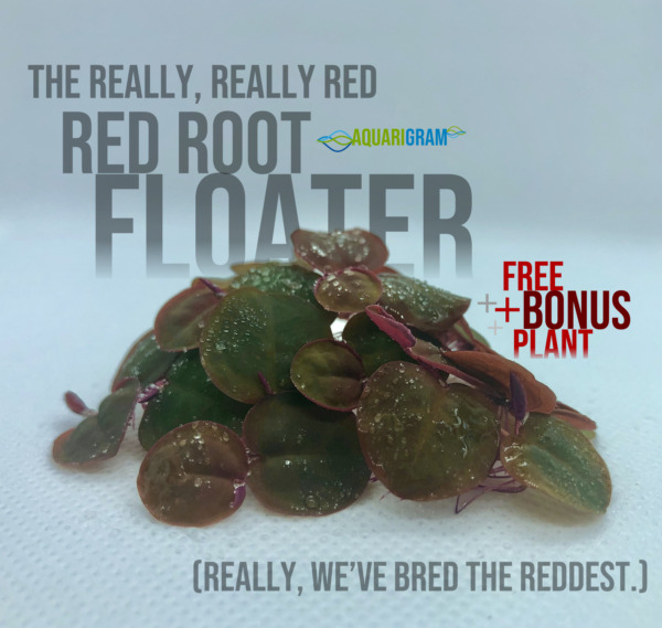 30 Leaf Red Root Floaters FREE BONUS PLANT Live Aquarium Floating Plant $14.99