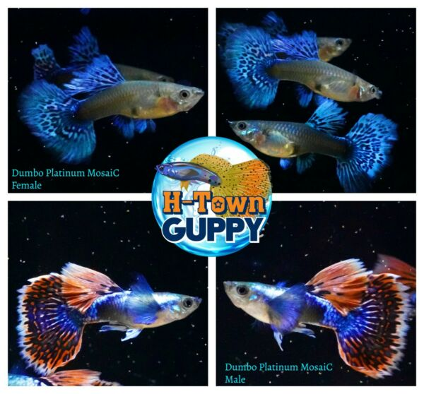 1 TRIO Live Aquarium Guppy Fish High Quality Dumbo Platinum Mosaic $35.00
