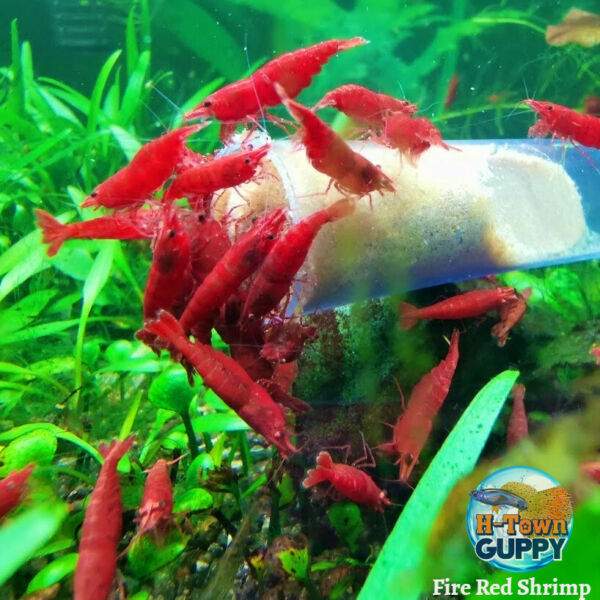 101 Fire Red Freshwater Neocaridina Aquarium Shrimp. Live Guarantee